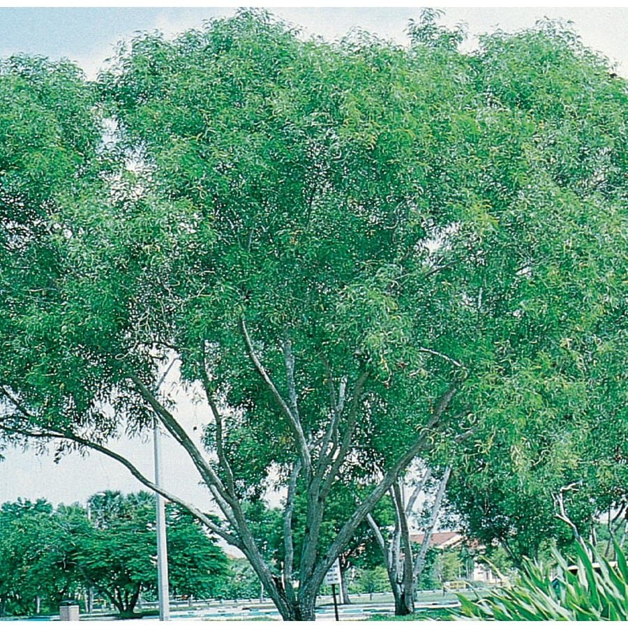 19.7-Gallon Hawaiian Koa Feature Tree (L21693)