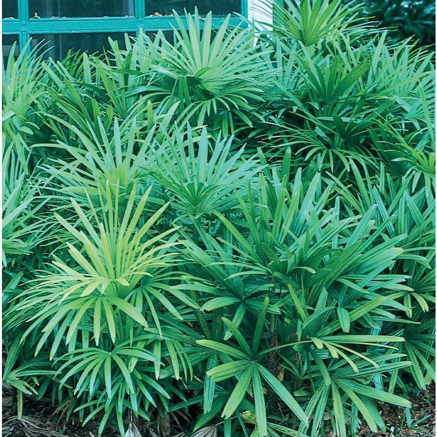 3.58-Gallon Lady Palm (L10147)