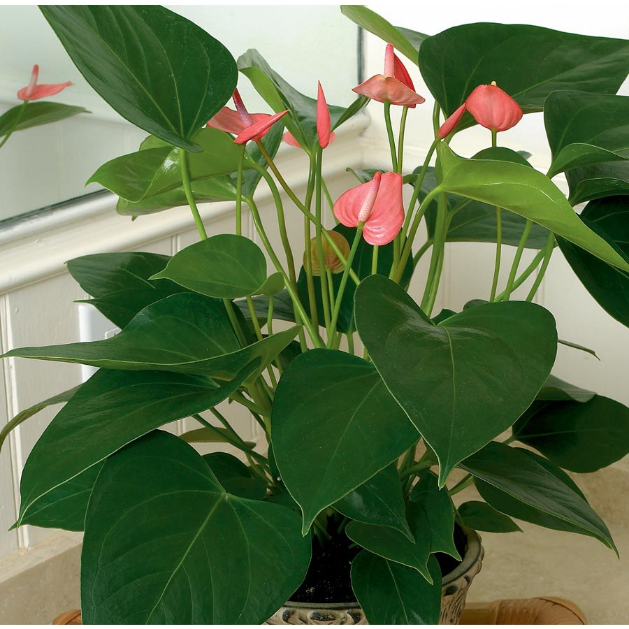 1.4-Quart Anthurium (L20914HP)