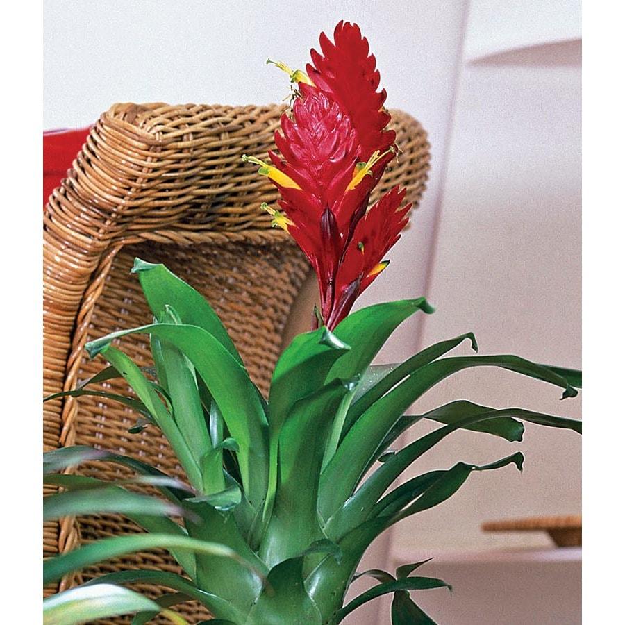 2.51-Quart Bromeliads (L20921HP)