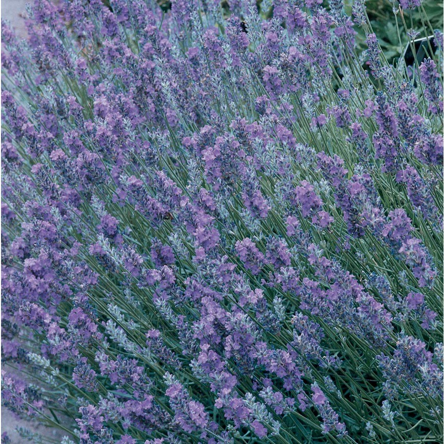 1.4-Quart English Lavender (L6071)