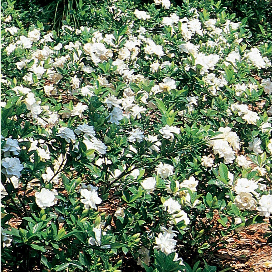 3.05-Gallon White Gardenia Flowering Shrub (L5150)