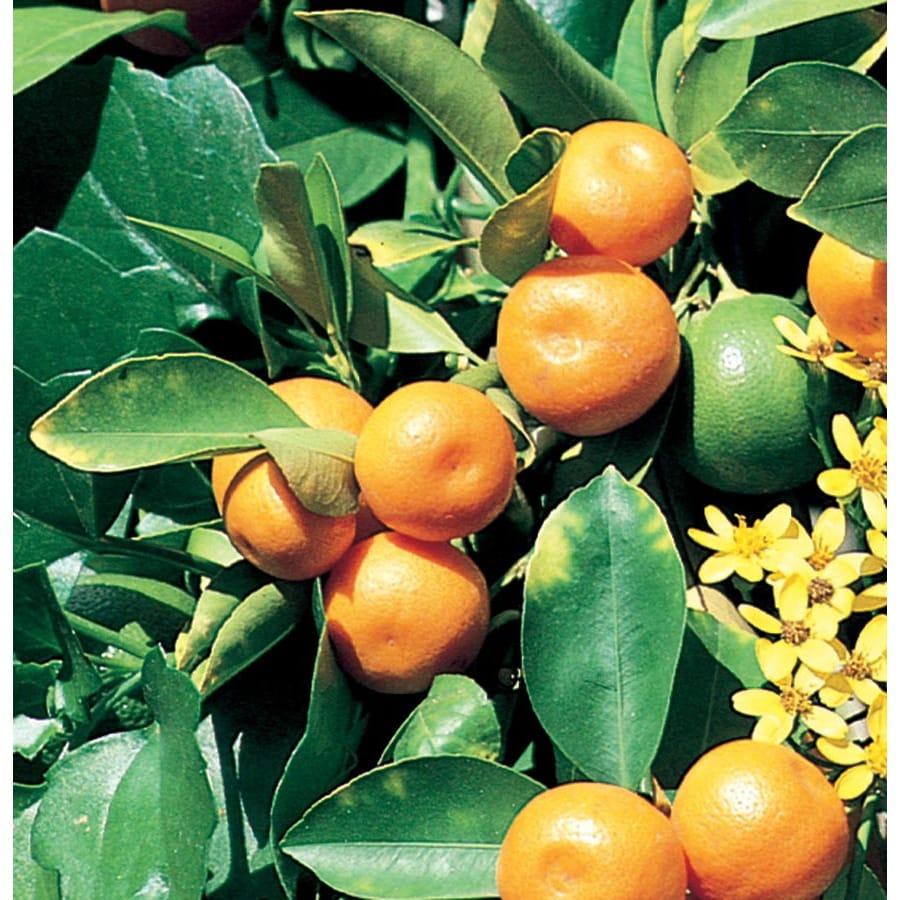 2.25-Gallon Calamondin Tree (L5172C&M)