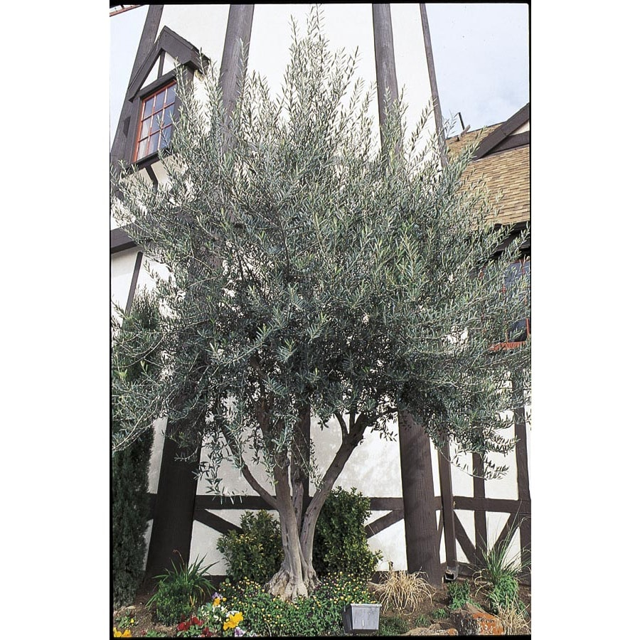 3.25-Gallon European Olive Feature Tree (L14921)