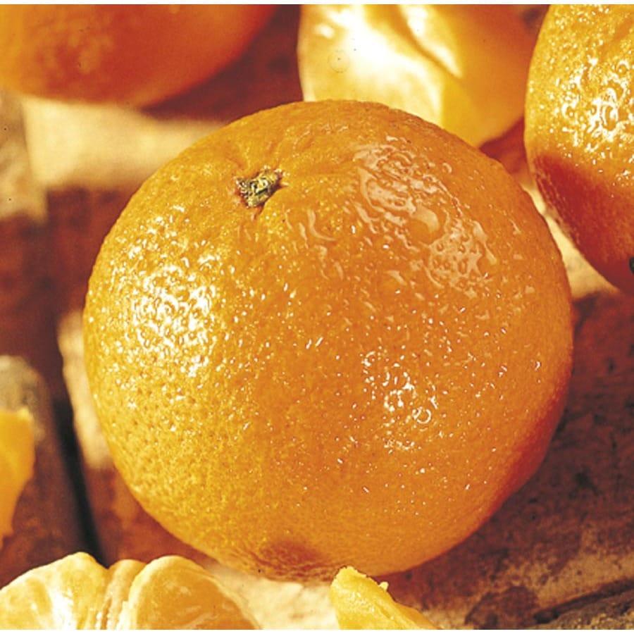 5.5-Gallon Mandarin Tree (L11379)