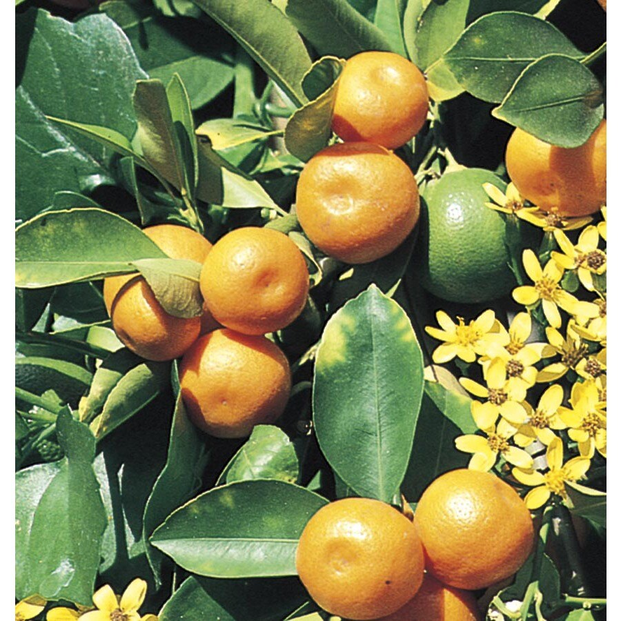 5.5-Gallon Calamondin Tree (L5172C&M)