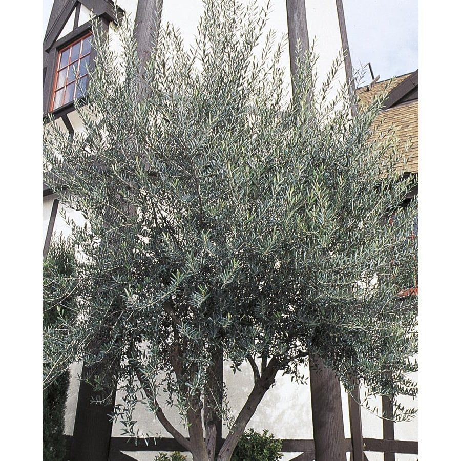 10.25-Gallon European Olive Feature Tree (L14921)