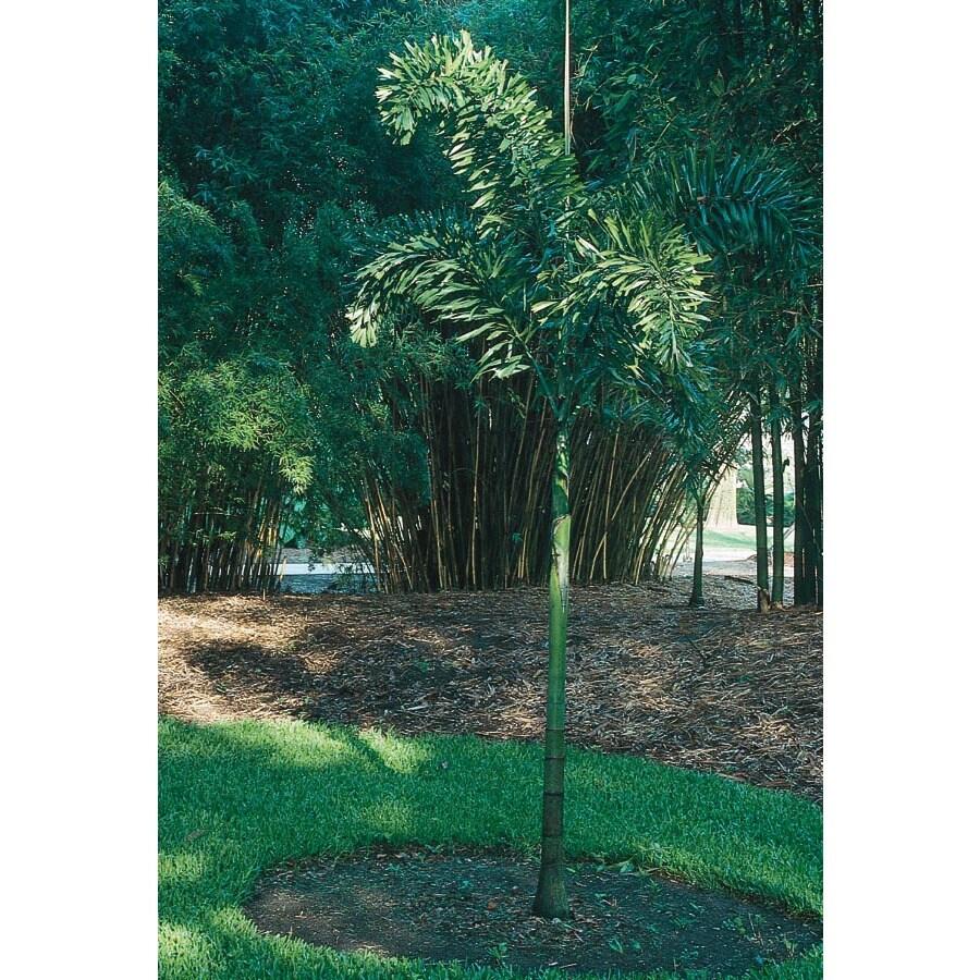 10.25-Gallon Foxtail Palm (L14531)