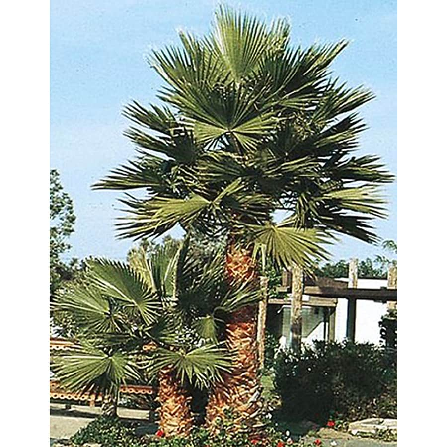 Shop 2.25-Gallon Pot Mexican Fan Palm (L3048) at Lowes.com