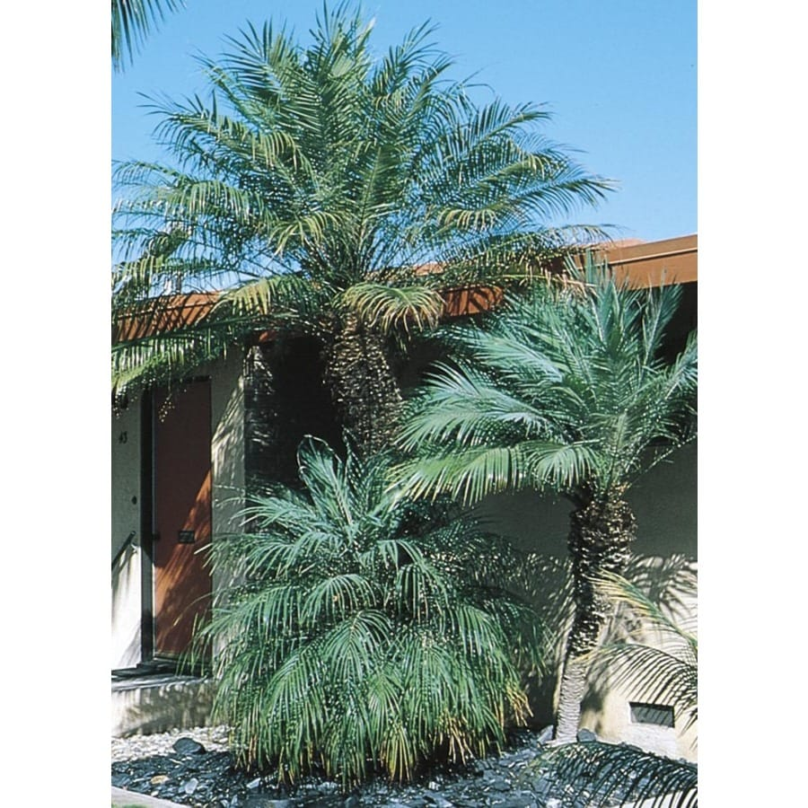4.55-Gallon Pygmy Date Palm (L7542)