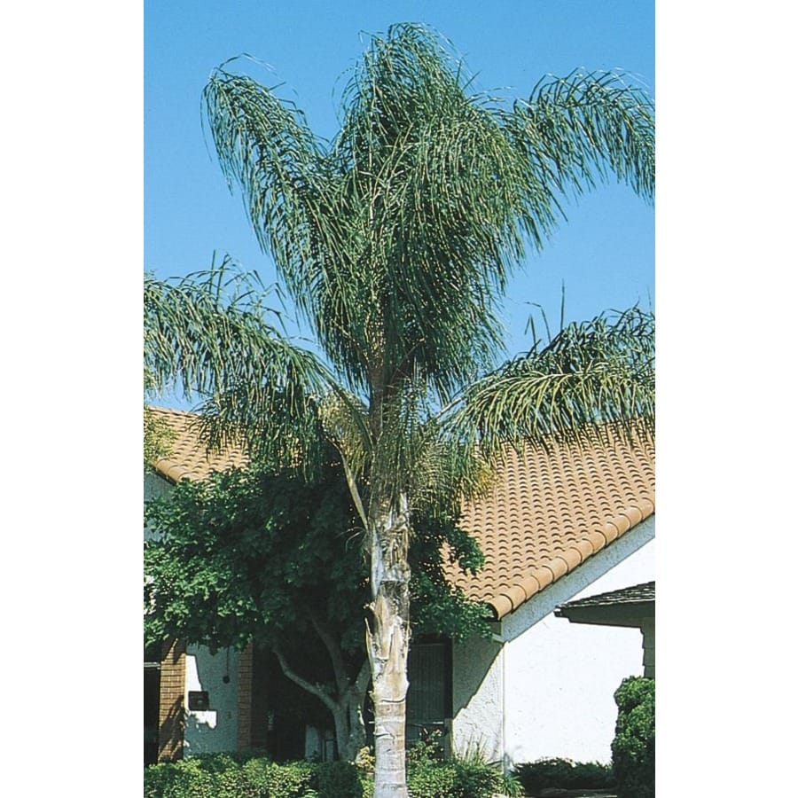 4.55-Gallon Queen Palm (L6258)
