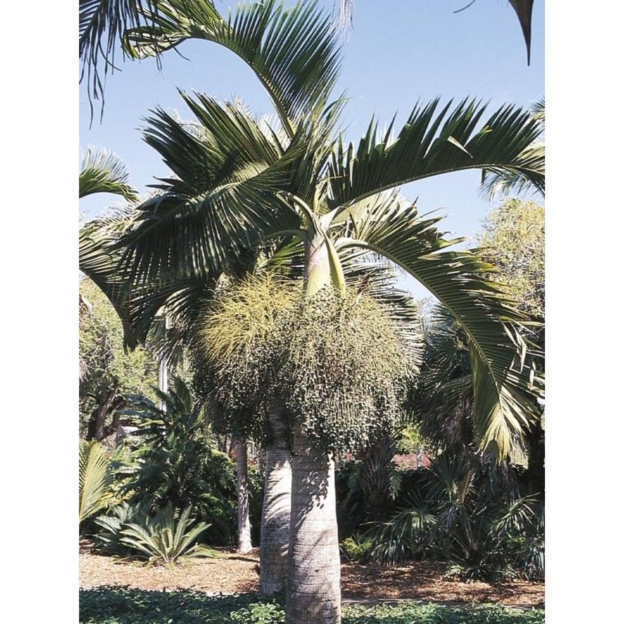 4.55-Gallon Bottle Palm (L14512)