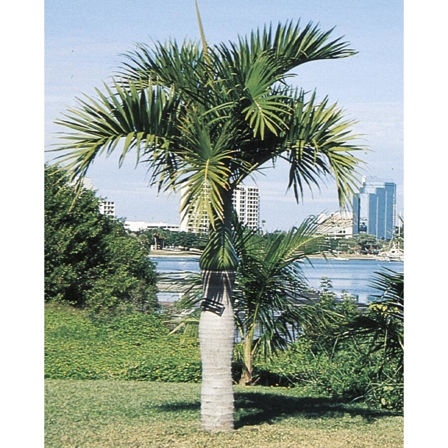 2.25-Gallon Spindle Palm (L11094)