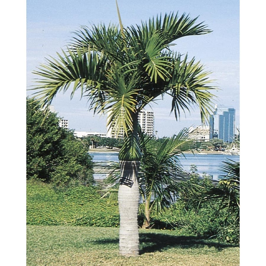 14-Gallon Spindle Palm (L11094)