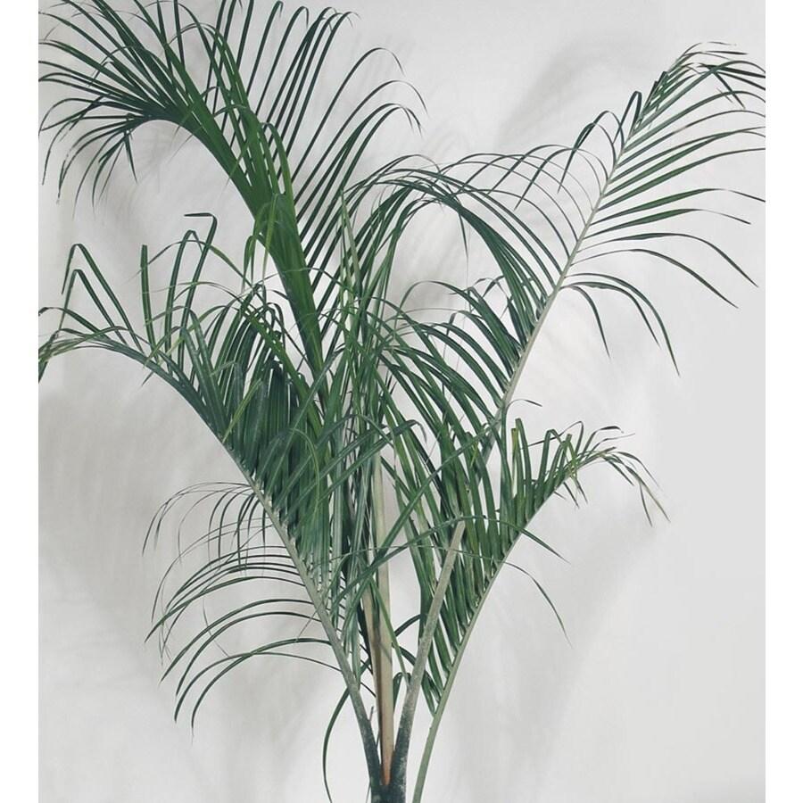 2.25-Gallon Triangle Palm (LTL0050)