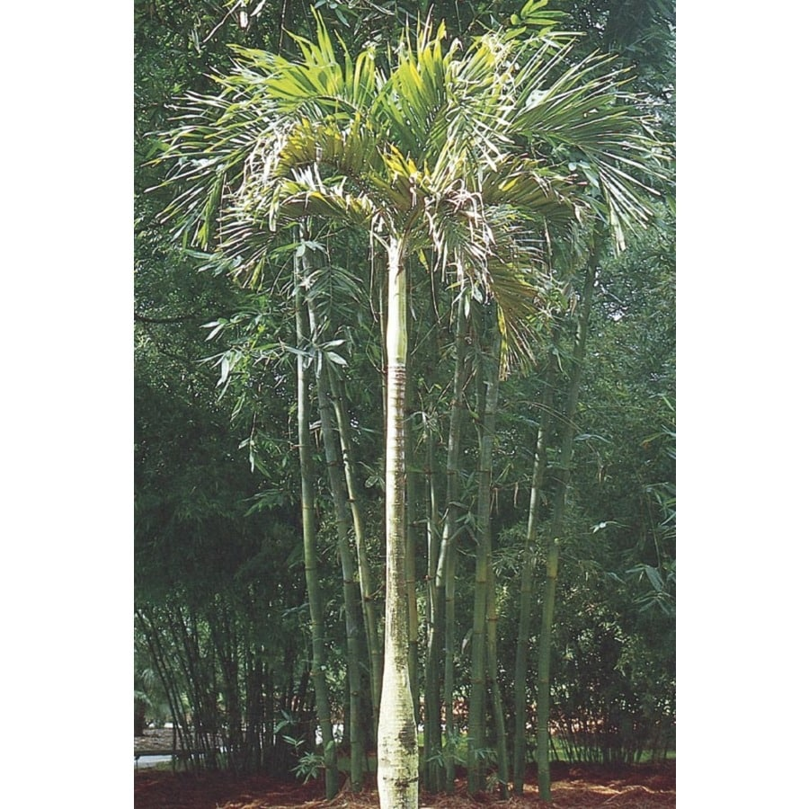 2.25-Gallon Adonidia Palm (L14490)