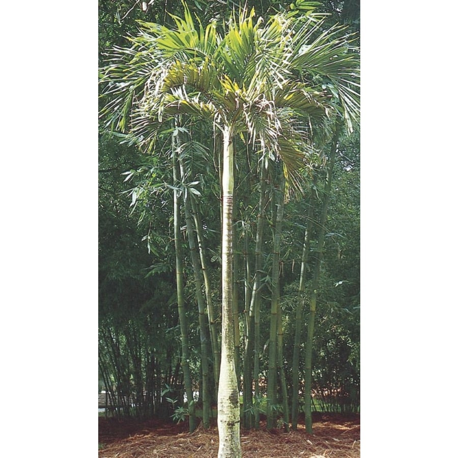 6.5-Gallon Adonidia Palm (L14490)