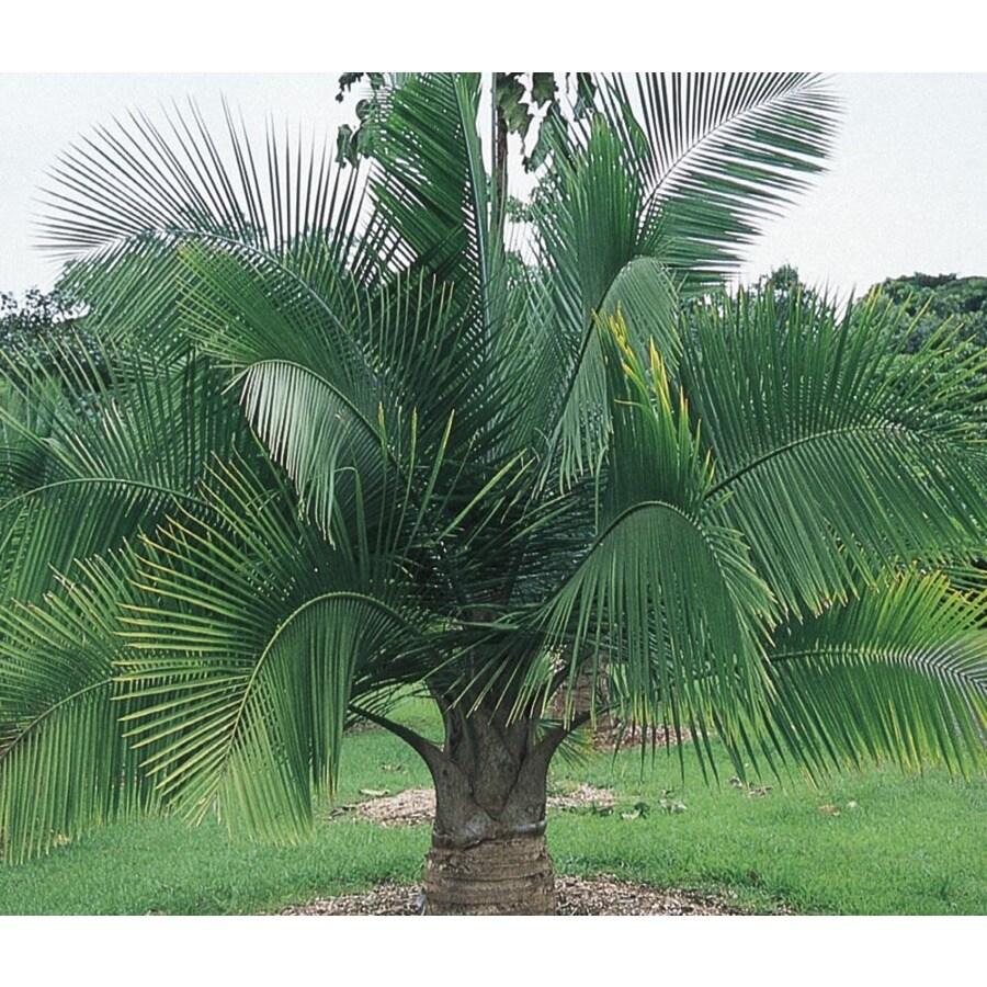 14-Gallon Majesty Palm (LTL0062)