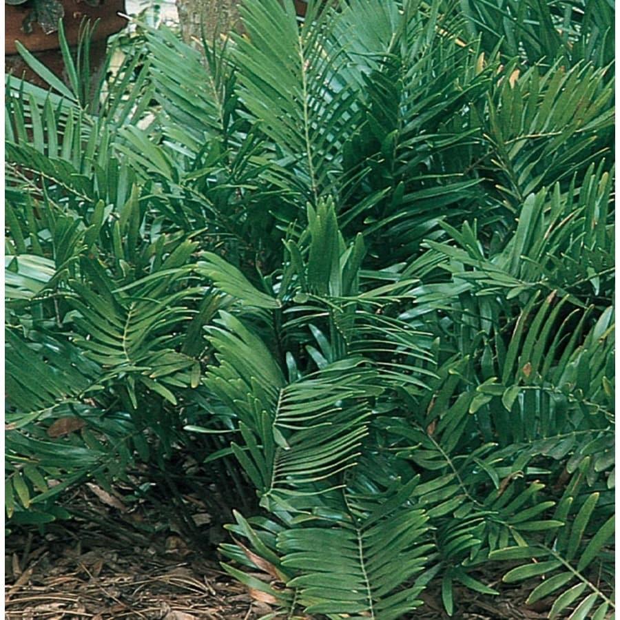 2.25-Gallon Coontie Palm (L8722)