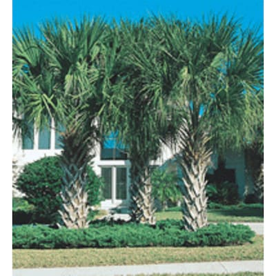 White Sabal Feature Tree In Pot With Soil L22586 At
