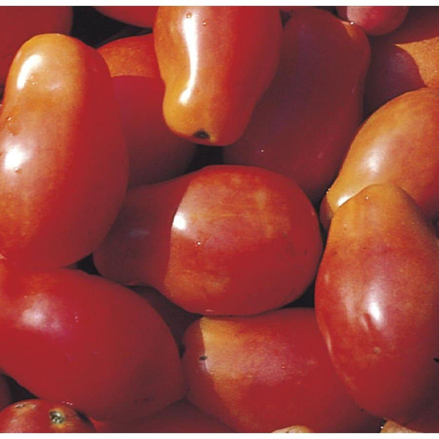 2-Gallon Tomato Plant (L14917)