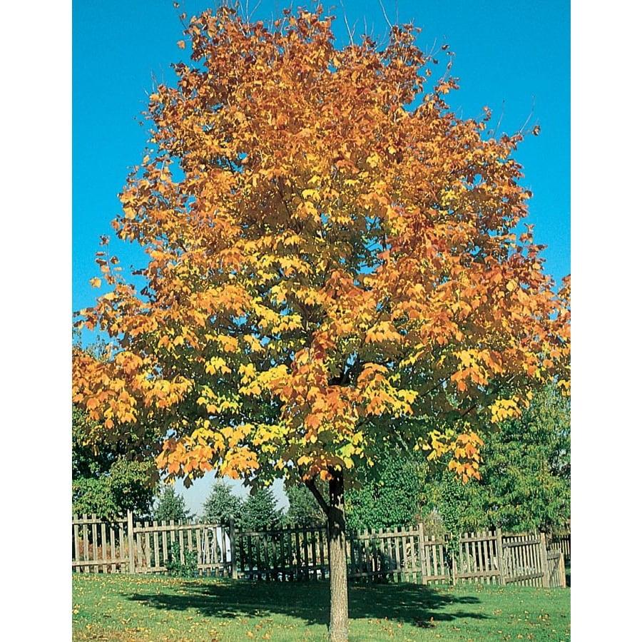 12.7-Gallon Green Mountain Sugar Maple Shade Tree (L1155)