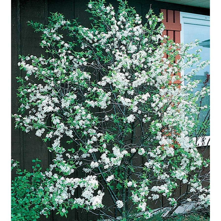 12.7-Gallon Autumn Brilliance Serviceberry Feature Tree (LW03336)