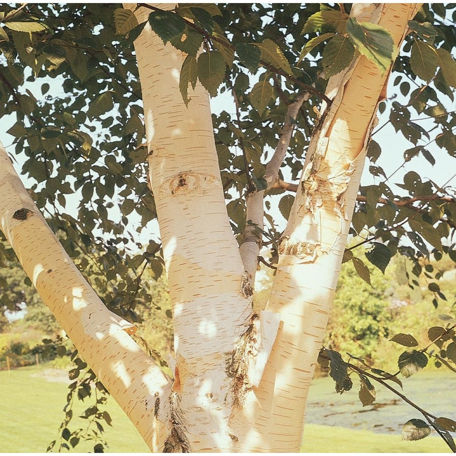 12.7-Gallon White-Barked Himalayan Birch Feature Tree (Lw00701)