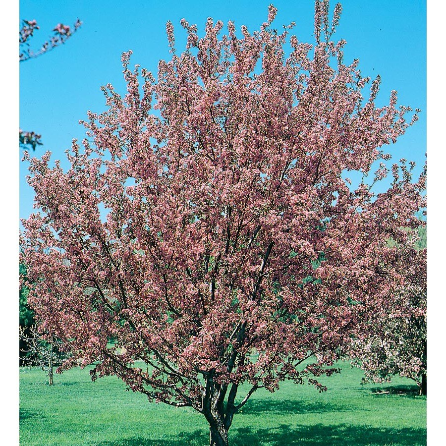 12.7-Gallon Flowering Crabapple Flowering Tree (L5985)