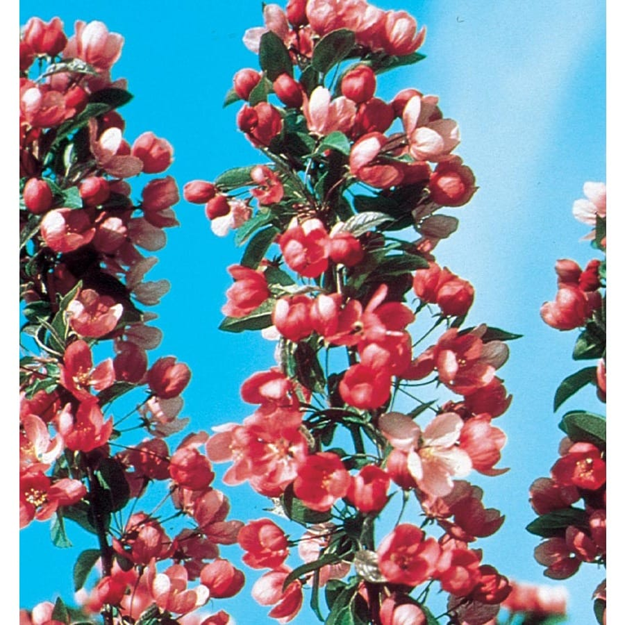 12.7-Gallon Indian Summer Crabapple Flowering Tree (L6132)