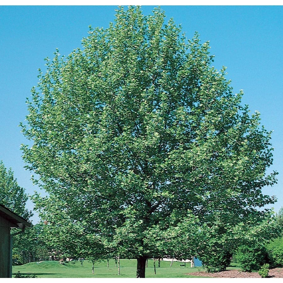 12.7-Gallon Bloodgood London Planetree Shade Tree (L6342)