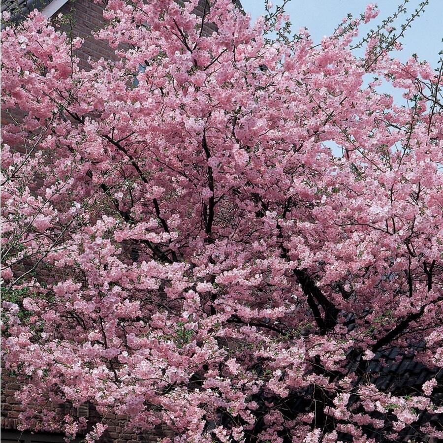 12.7-Gallon Kwanzan Flowering Cherry Flowering Tree (L1023)
