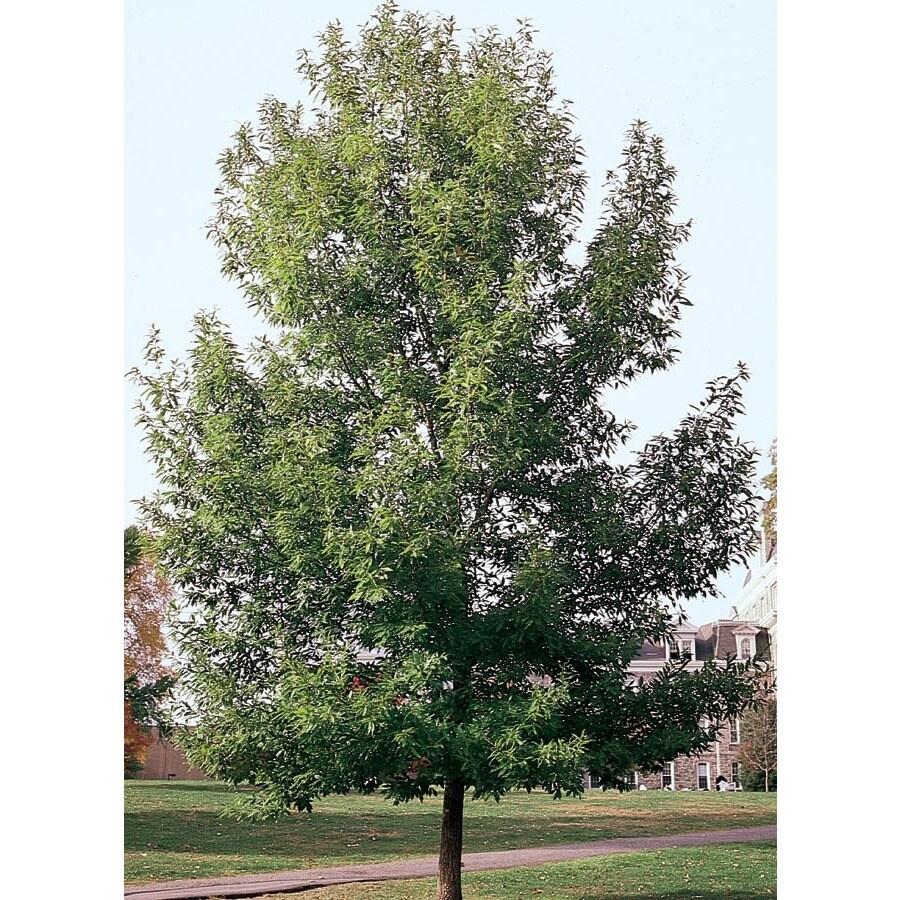 12.7-Gallon Sawtooth Oak Shade Tree (L4573)