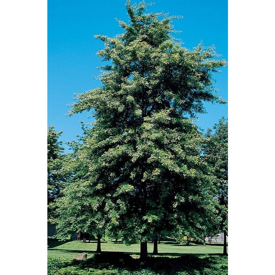12.7-Gallon Scarlet Oak Shade Tree (L1142)