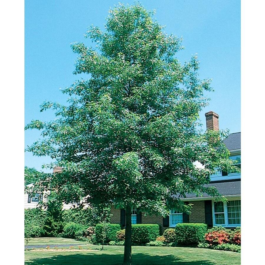 12.7-Gallon Pin Oak Shade Tree (L1097)