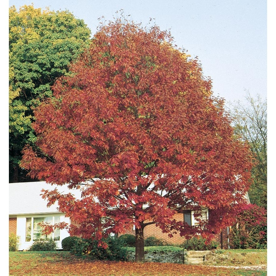 Red Oak Tree ~ Shop gallon northern red oak shade tree l at