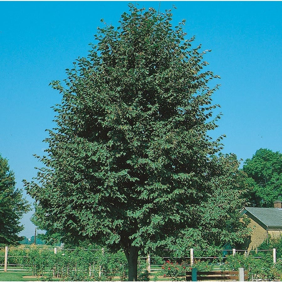 12.7-Gallon Greenspire Linden Shade Tree (L1072)
