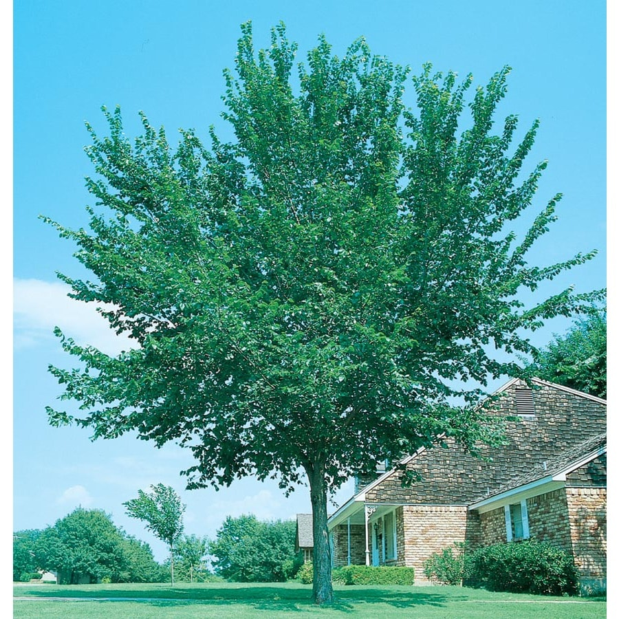 12.7-Gallon Accolade Elm Shade Tree (L14484)