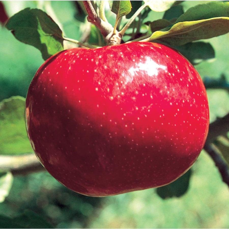 3.64-Gallon Beacon Apple Tree (L16598)