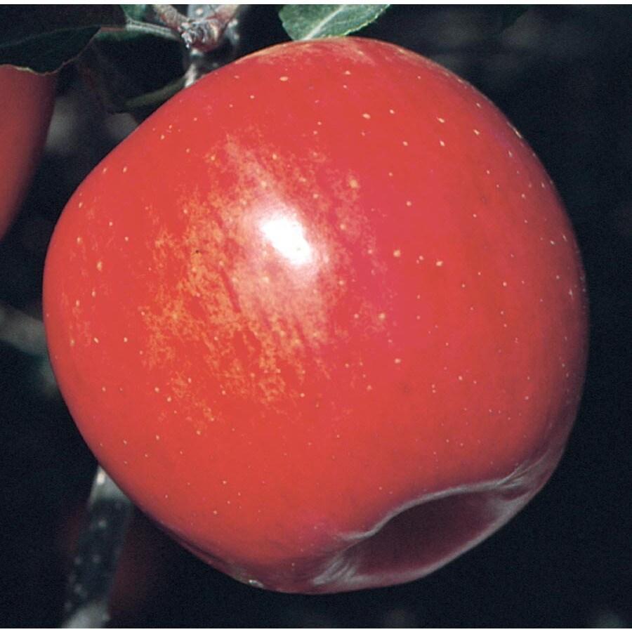 3.64-Gallon Freedom Apple Tree (L26373)