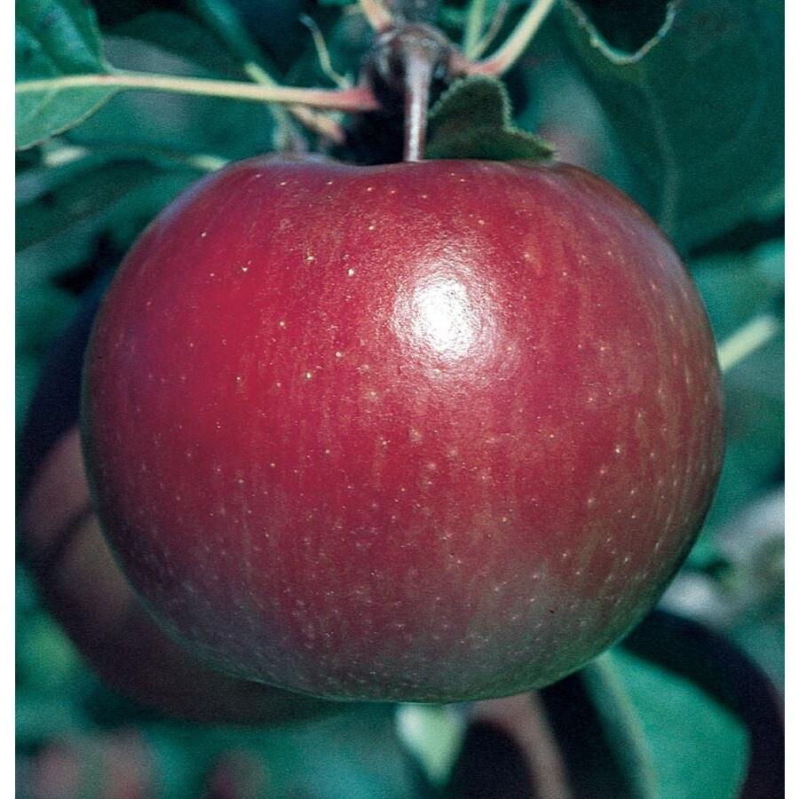 3.64-Gallon Fuji Apple Tree (L10470)