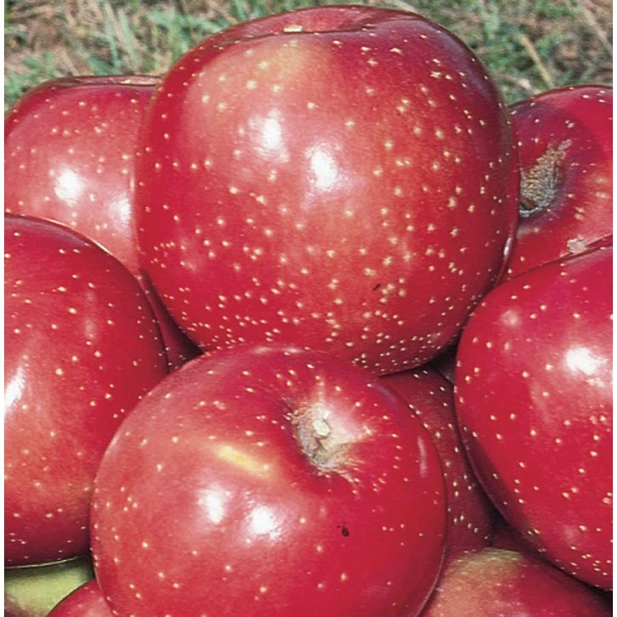 3.64-Gallon Haralred Apple Tree (LFT006)