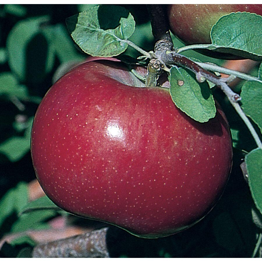 3.64-Gallon Haralson Apple Tree (L4221)
