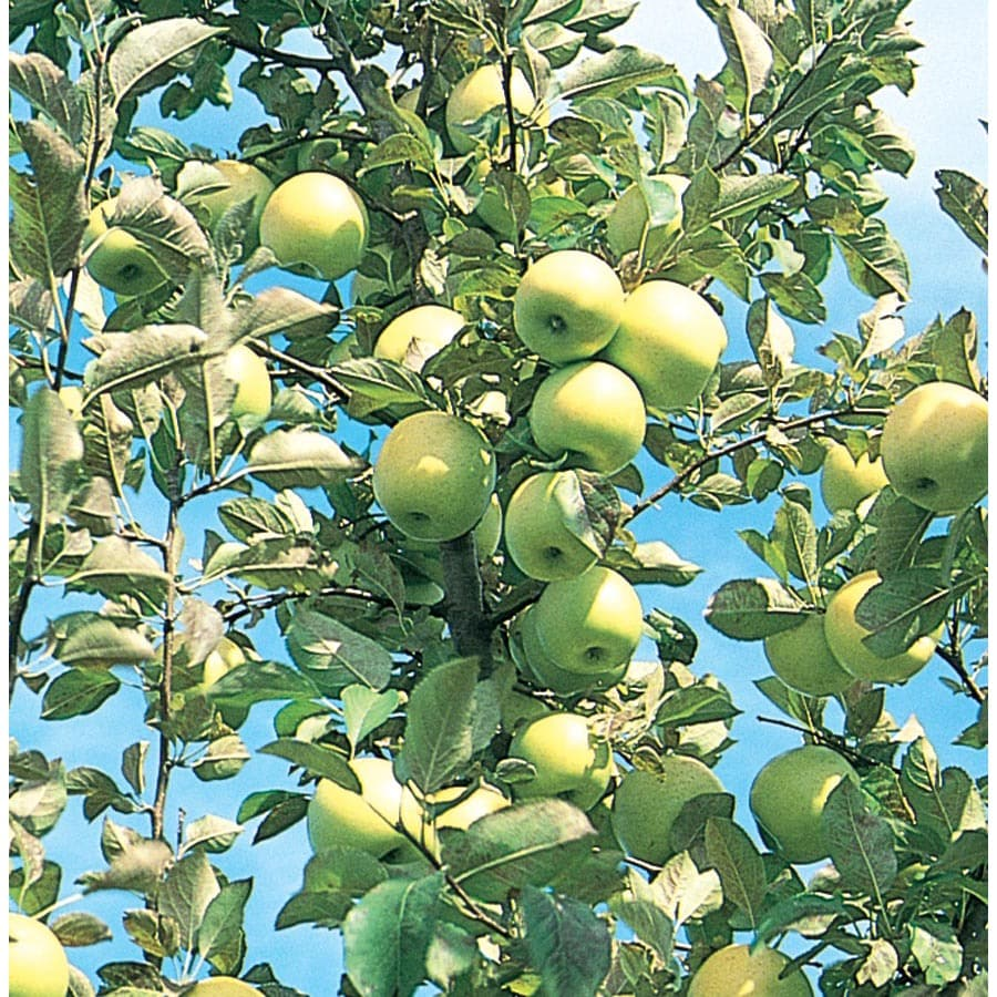3.64-Gallon Honeygold Apple Tree (L4228)