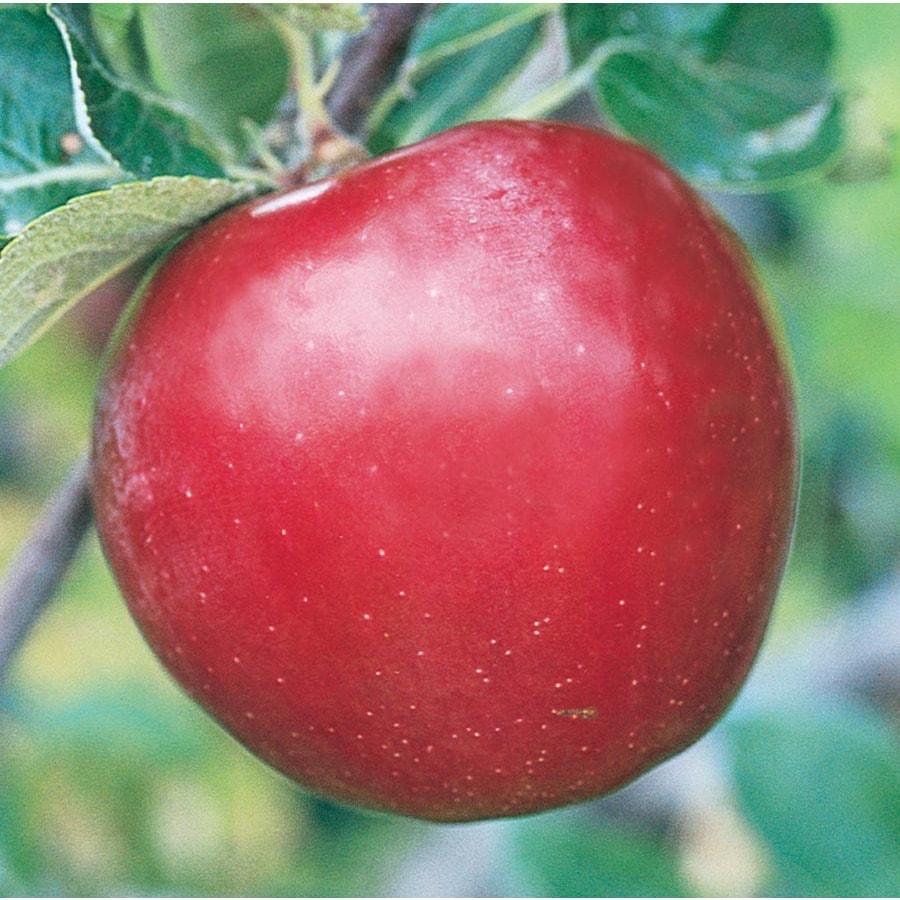 3.64-Gallon Red Baron Apple Tree (L26378)