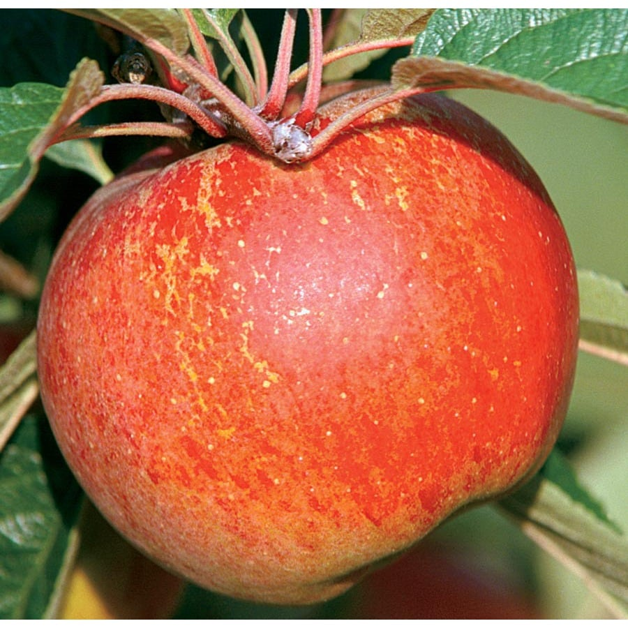 3.64-Gallon Red Duchess Apple Tree (L26376)