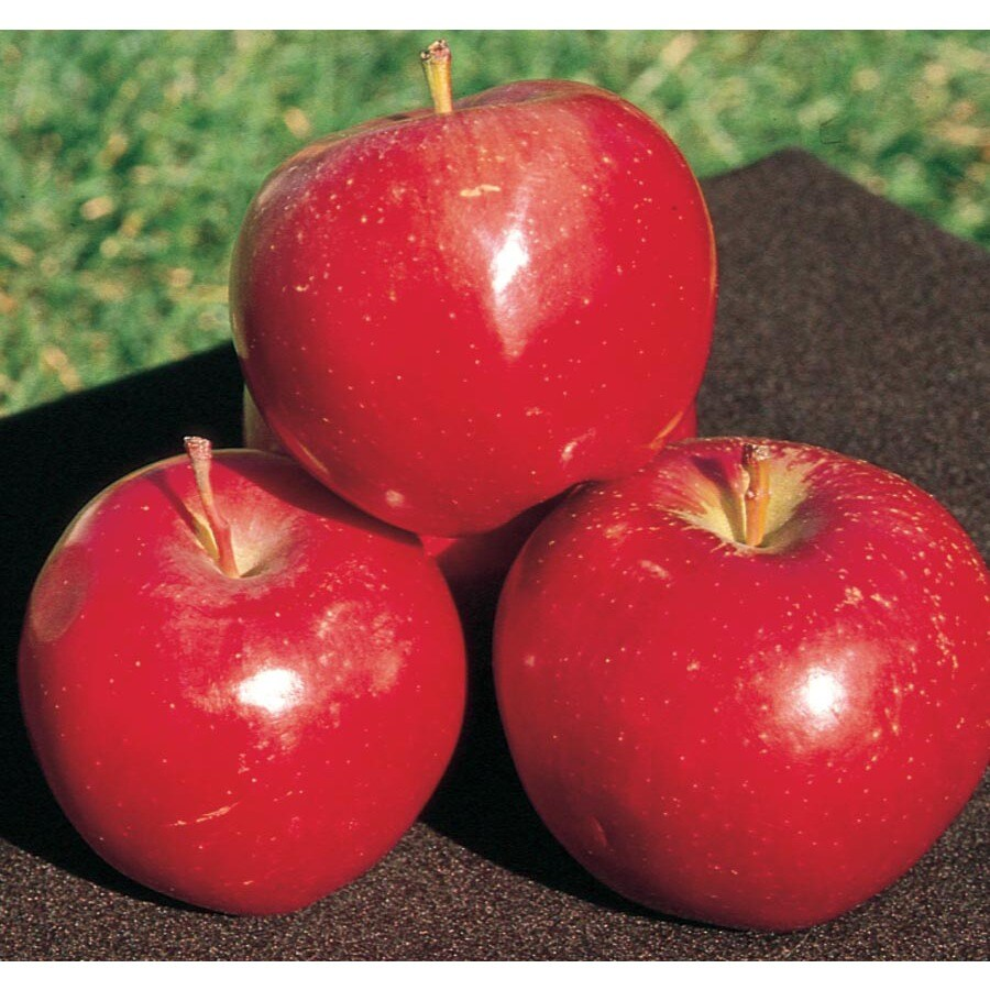 3.64-Gallon Regent Apple Tree (L26377)