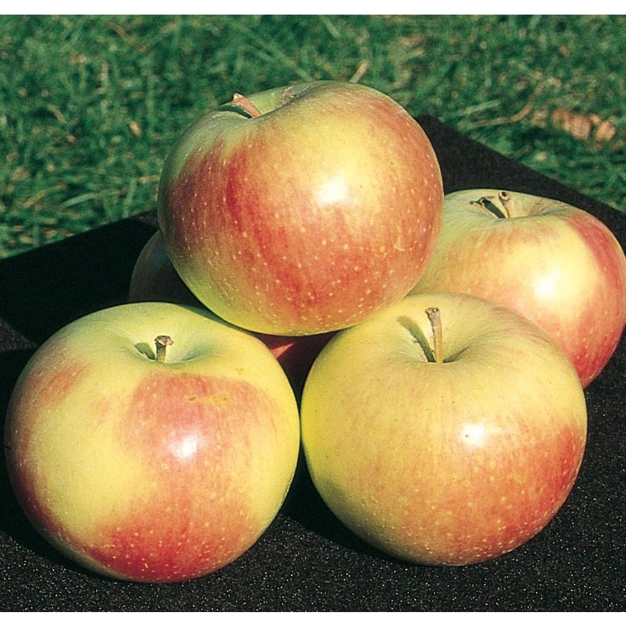 3.64-Gallon Wealthy Apple Tree (L4233)