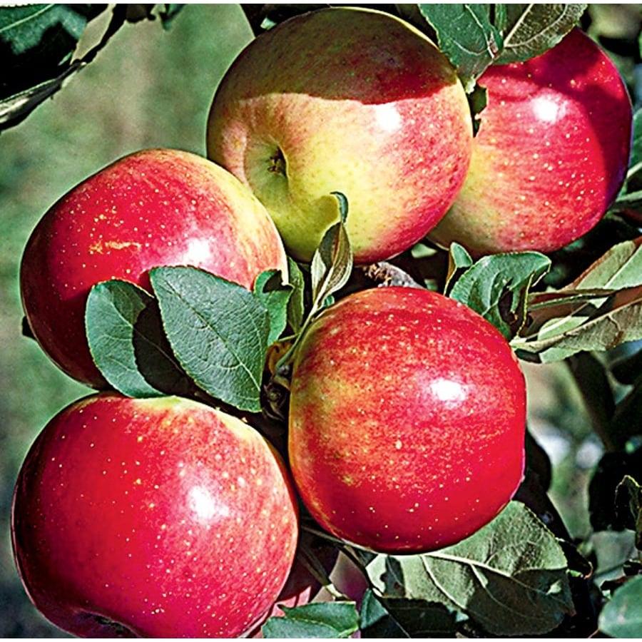 3.64-Gallon Zestar! Apple Tree (L24037)