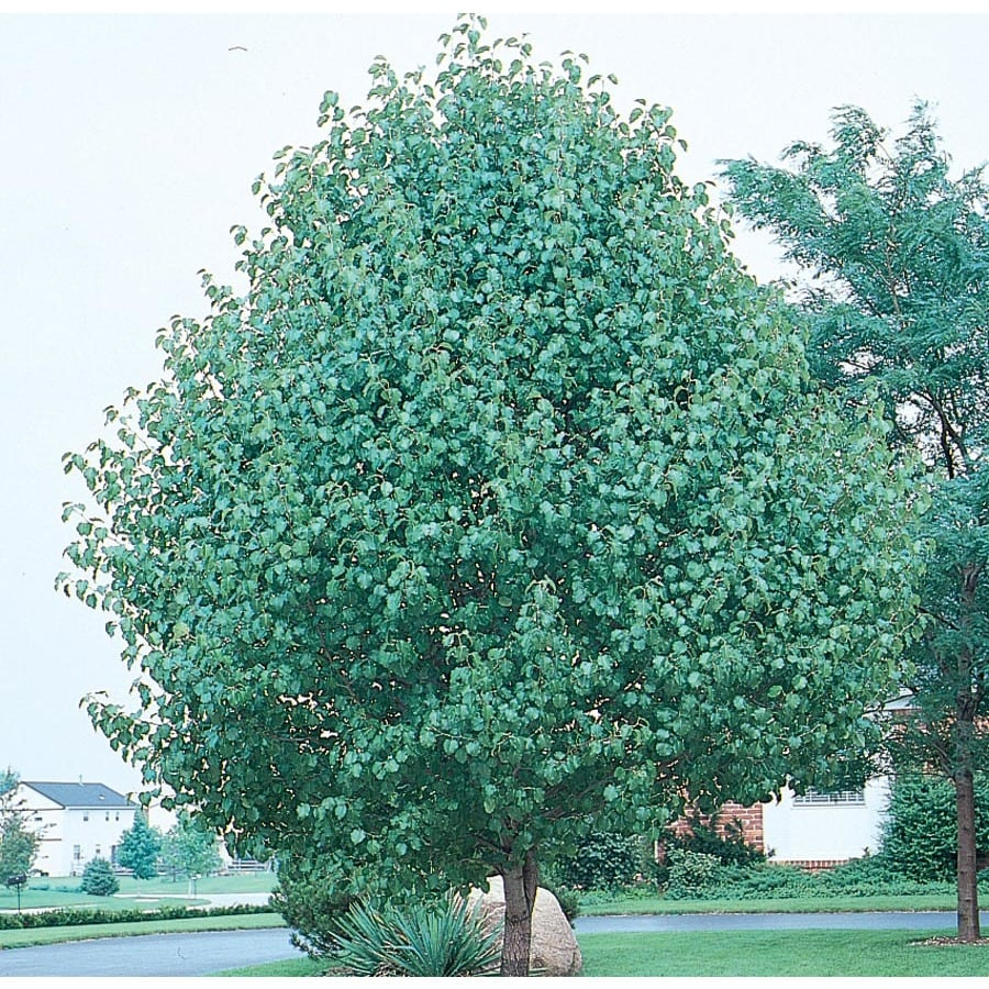 3.64-Gallon Redspire Flowering Pear Flowering Tree (L3667)